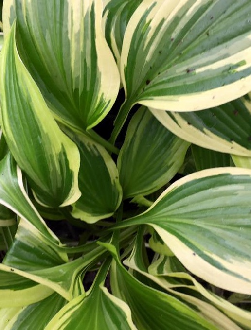 Hosta yellow splash