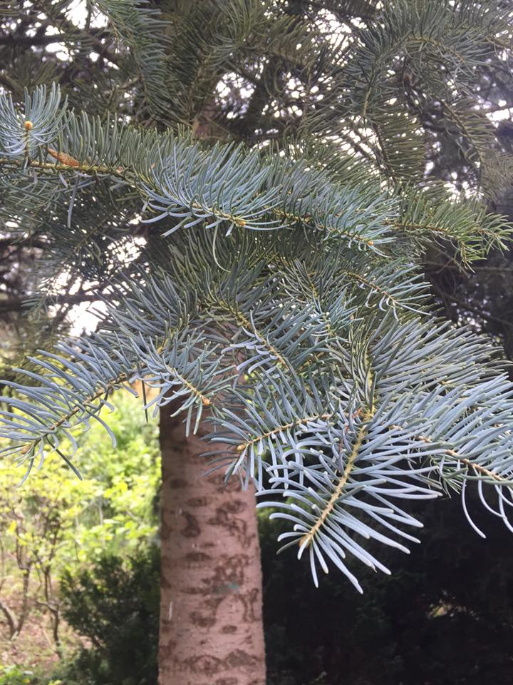 Abies concolor Blue