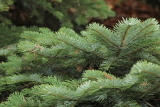 abies amabilis spreading star © 2013