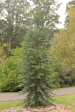 Wollemia nobilis Wollemi Pine