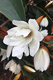 Magnolia x Fairy White