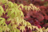maple acer palmatum osakazu