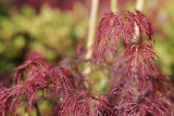 acer maple palmatum dissectum red filigree lace