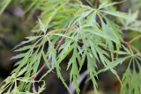 Acer maple palmatum dissectum waterfall
