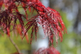 acer maple palmatum red filigree lace