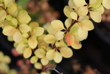 berberis thunbergii golden glow