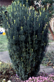 cephalotaxus harringtonii fgastigiata © 2014