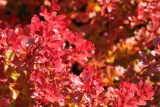 berberis little favourite © bron anderson
